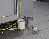 Pigeons with a bucket