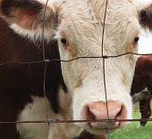 image of cow head  - Brown and white cow head closeup through farm fence - JPG