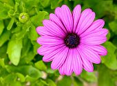 Pink purple daisy flower