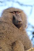 Portrait Of Adult Olive Baboon