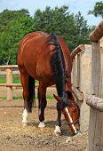Grazing horse in stud farm