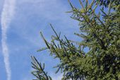 Deep Green Conifer With Blue Sky