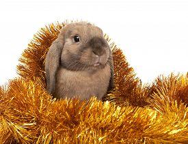 image of dwarf rabbit  - Dwarf rabbit in the Christmas tinsel - JPG