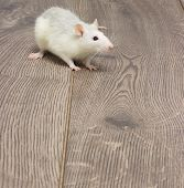 picture of rats  - white pet rat on a wooden floor - JPG