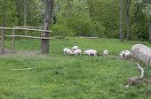 stock photo of piglet  - Piglets walking and playing on grass  - JPG