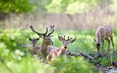 stock photo of antlers  - Red deer with growing antlers lying on fresh green grass in forest on sunny spring day - JPG