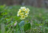 picture of cowslip  - Cowslip  - JPG