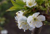 picture of ant  - Ant on flower blossoming cherry - JPG