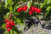 foto of black-cherry  - Red berries cherries on a branch in the garden on a sunny summer day and a black dog in the background - JPG