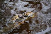 pic of orange frog  - Three moor frogs  - JPG