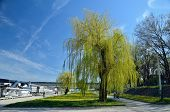 foto of weeping  - Weeping willow in spring time on the Sava river bank in Belgrade in spring time - JPG