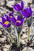 stock photo of primrose  - blooming purple primroses sleep - JPG