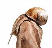 stock photo of helix  - Macro side view of Burgundy snail  - JPG