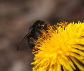 picture of bumble bee  - Macro of bumble bee feeding and pollinating on dandelion low angle view - JPG