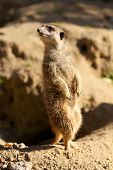 Meerkat Watching The Skay