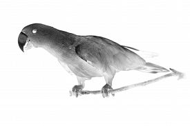 pic of inverted  - Black and white portrait of Chattering Lory Lorius standing on a branch - JPG