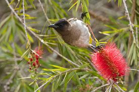 picture of bulbul  - Black - JPG