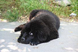 foto of newfoundland puppy  - Cute puppy of Newfoundland dog loafing on the street - JPG
