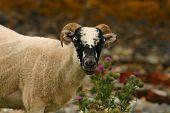 Scottish Goat