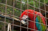 Big Varicoloured Parrot In Hutch