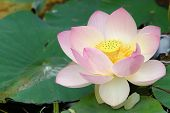 foto of water lilies  - according to hinduism the lotus is the foremost symbol of beauty prosperity and fertility - JPG