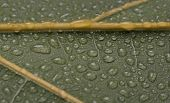 Leaf Of A Plant With Water Drops