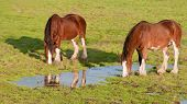 pic of clydesdale  - This late afternoon shot of two Clydesdale horses was taken in Sonoma - JPG