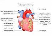 Постер, плакат: medical human heart