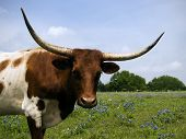 stock photo of longhorn  - Texas Longhorns in a field of Texas Bluebonnets - JPG