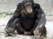 foto of tarzan  - chimpanzee posing sitting on his bottom with legs open - JPG