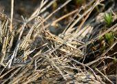 Camouflage Grasshopper