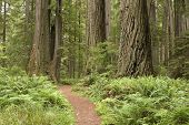 Redwood Trees With Hiking Trail.