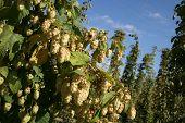 Close Up Of Kentish Hops At Harvest Time