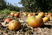 The Fallen Kentish Apples