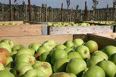 Kentish Apples Boxed Up