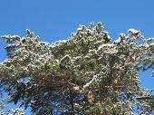 Pine-Tree In Winter.