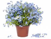 Big Bouquet From Forget-me-nots (myosotis)