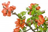 Blossoming Japanese Quince (chaenomeles) Macro