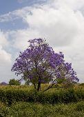 Hawaiin  Jacaranda Tree
