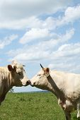 Affectionate Charolais Bull And Cow