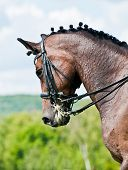 Beautiful sport dressage horse