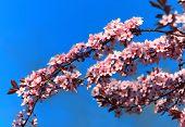 Cherry Blossom Baum