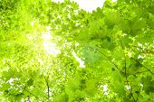 Maple Tree Branches With Fresh Green Leaves On Blue Sky Background. Bottom View Of Maple Tree Top On poster