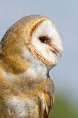stock photo of screech-owl  - A sitting owl in a german zoo - JPG