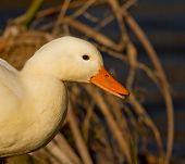 A White Wild Duck