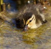 A Small Duck In The Water