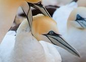 A Loving Couple Of Gannets