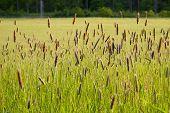 Ornamental Grass /  Kind Of Summer Tall Grass.kind Of Summer Tall Grass In Front Of Forest. poster