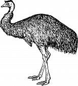 Emu (Dromiceiidae)