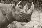 image of fat lip  - The black rhinoceros or hook-lipped rhinoceros (Diceros bicornis), is a species of rhinoceros, native to the eastern and central areas of Africa